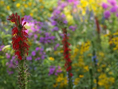 Cardinal flowers in Central Park