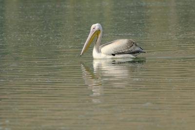 A pelican fishing.