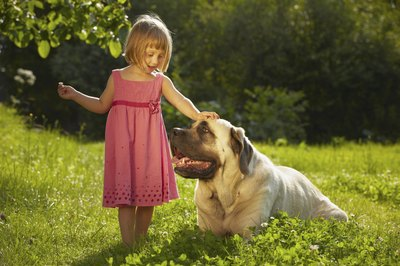 Fawn colored mastiff dog being pet by young girl