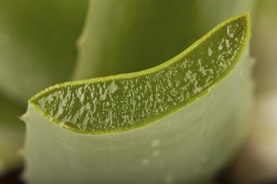 Section of aloe vera plant