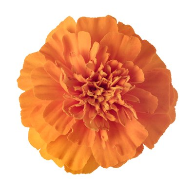 Orange marigold flower.