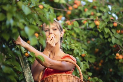 Woman harvesting apricots off of trees.