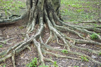 Tree roots reach across the surface of a yard.