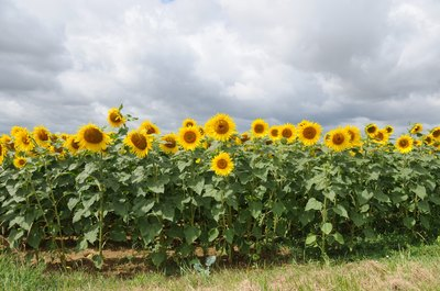 A field of sunflower plants.