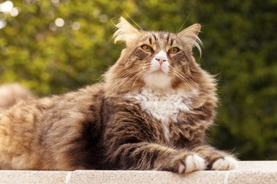 A Maine coon sitting on a garden wall outside.