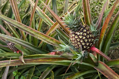 pineapples are just one of the many fruits of the rainforest