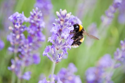 Close-up of bumblebee on English lavender plant.