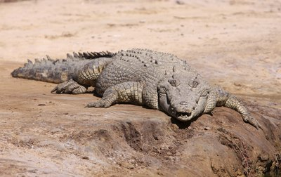 large saltwater crocodile