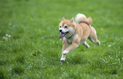 A shiba inu leaping through the park.