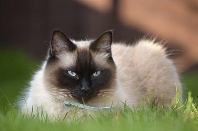 Siamese cat in grass