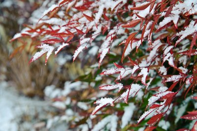 Nandina in the snow.