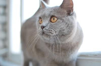 The British shorthair's expression makes her look as if she is smiling.