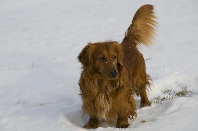 Dachsies' long hair can get wet in the weather.