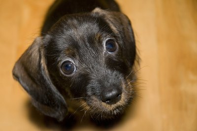 Dachshunds are typically pregnant for 63 days before birthing puppies.
