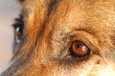 Take proper care of your dog's eyes to keep them healthy.