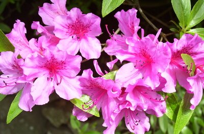 Though beautiful, azaleas can be deadly.