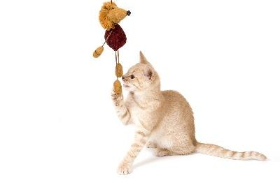 A spayed or neutered cat may retain kittenlike playfulness into adulthood.
