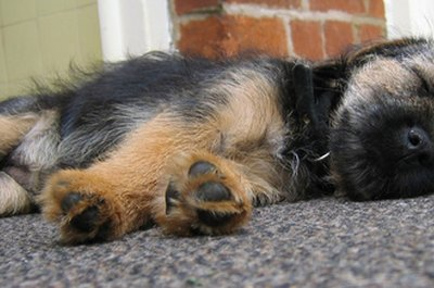 Puppies can often be found sleeping throughout the day, but rarely when you want them to.