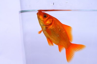 Goldfish obtain oxygen from the water surrounding them.