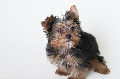 Porkies are half one of these, a Yorkshire terrier.