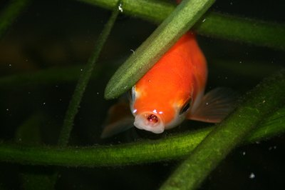 Your goldfish opens his mouth wide enough to hold small rocks.