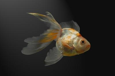 Goldfish are among the oldest domesticated animals.