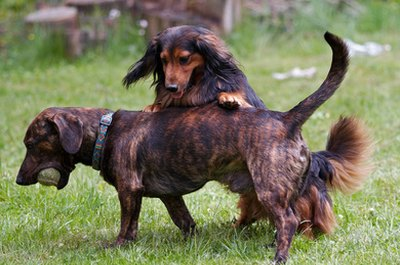 Piebald dachshunds are distinct from dappled dachshunds.