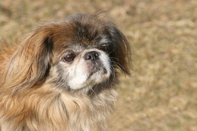 Keep your Peke cool to reduce your dog's risk of seizures.