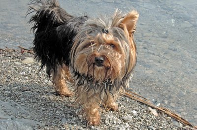Always bathe your Yorkie after he swims to prevent skin irritations.