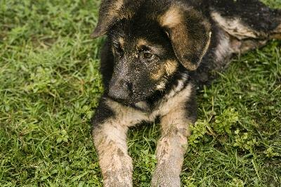 They may be small, but German shepherd puppies eventually turn into toy killers.