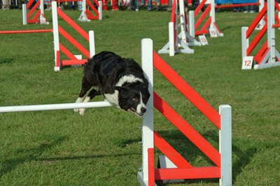 Training a dog to jump hurdles is fun for both pet and owner.