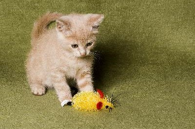 A variety of toys will keep your kitten busy and keep her from eating stuff off your floors.