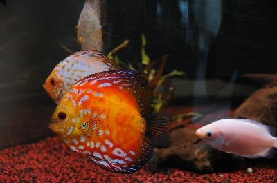 Kissing gouramis are a good choice for large community tanks.