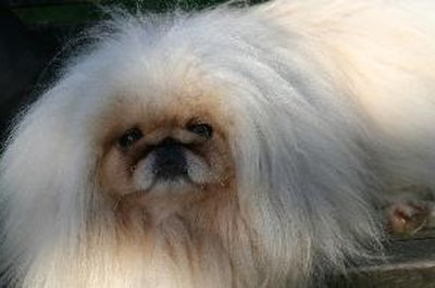 Like most purebreds, Pekingese have their fair share of hereditary difficulties.