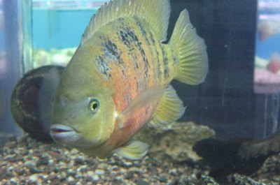 The chocolate cichlid got its name because of its reddish-brown body.