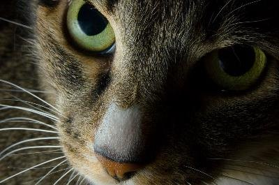 Cat whiskers, also called vibrissae, are actually touch receptors, and don't regulate balance.