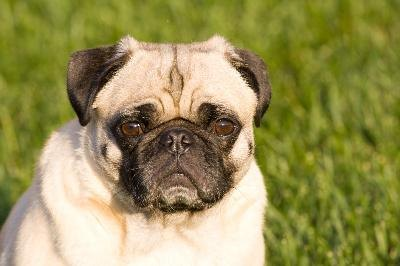 The pug is half of the puggle.