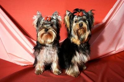Yorkshire terriers pack a lot of personality into tiny bodies.