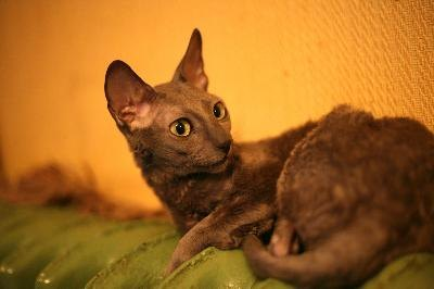 Cornish rex cats are athletic, energetic and highly affectionate pets.