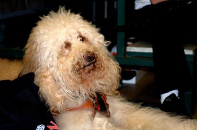 Routine grooming will keep your labradoodle's wild hair at bay.