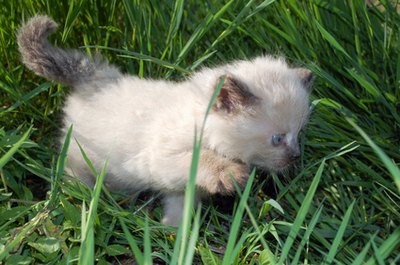 A Siamese kitten is white until she develops her coloring.