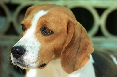 Beagles are driven by their noses.