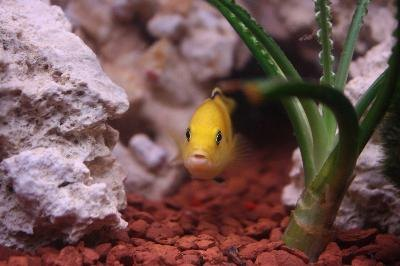 A lemon cichlid adds a splash of vibrant color to an aquarium.