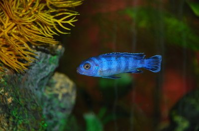 Cichlids are known for their striking colors and bad attitudes.