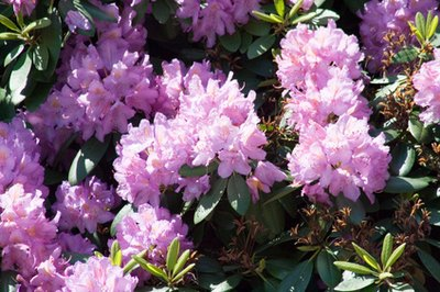 Hounds and rhododendrons should be kept separate.