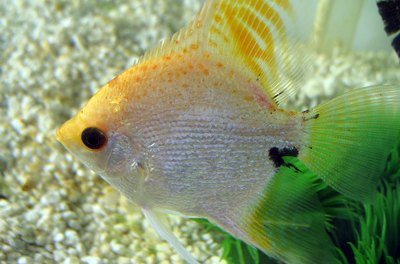 Angelfish need much warmer temperatures than goldfish do.