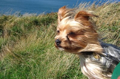 Yorkshire terriers can be hyper when they don't get enough attention.