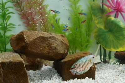When a dwarf gourami speeds after neon tetras, the schooling fish flee for safety.