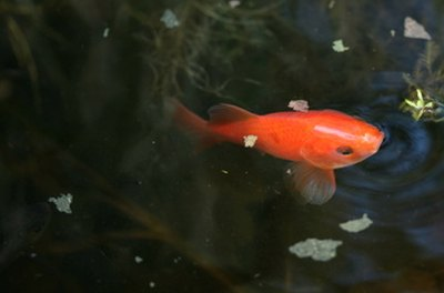 Pond goldfish require special care during the winter.