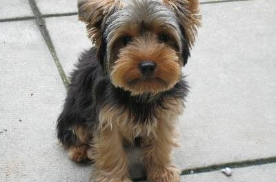 Yorkies can be difficult to potty-train.